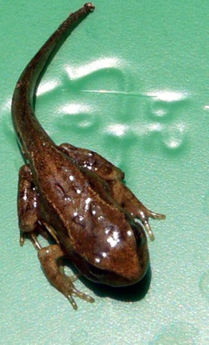 frog with tail
