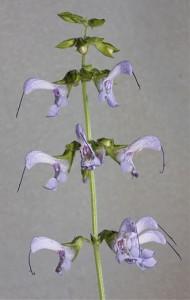 Salviamiltiorrhiza