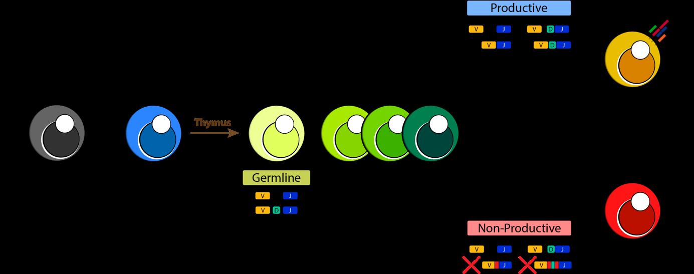 Proposed model of ILC2 development